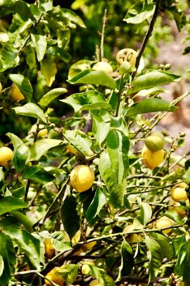 Zitronen überall